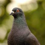 pigeon regardant l'objectif