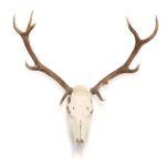 squelette de tête de cerf accroché sur un fond blanc